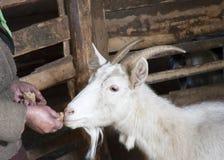 Feeding of a goat Stock Photos