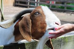 Feeding a Goat. Goat eating out of a girls hand at a petting zoo Royalty Free Stock Photos