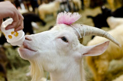 Feeding goat Stock Photography