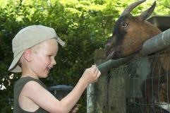 Feeding The Goat Stock Photos