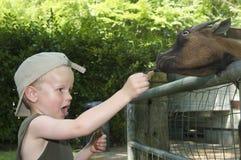 Feeding A Goat Stock Photos