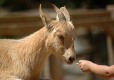 Feeding goat royalty free stock photo