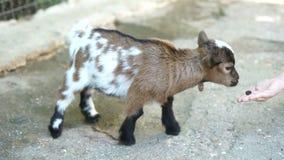 Feeding The Goat stock video