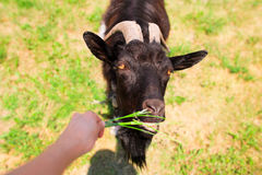 Feeding goat. Feeding black goat and hand with leaf of grass royalty free stock photos