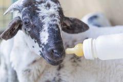 Feeding goat royalty free stock images