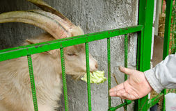 Feeding goat on the farm. With cabbage Stock Images