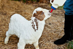 Goat being bottle fed Stock Images