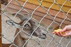 Feeding goat at farm Royalty Free Stock Photo