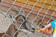 Feeding goat at farm Stock Images