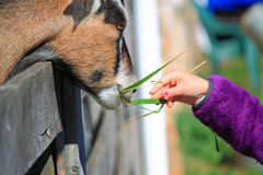Feeding Goat Royalty Free Stock Images