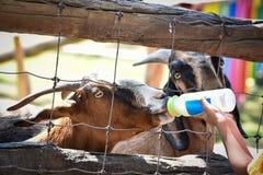 Feeding a goat. By milk in farm Royalty Free Stock Photo