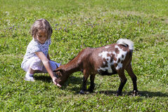 Feeding goat 5 Royalty Free Stock Photo