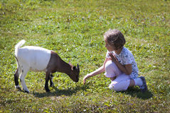 Feeding goat 9 Stock Photo