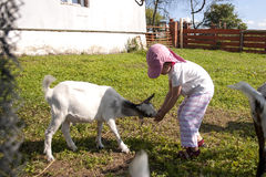 Feeding goat 3 Stock Photo