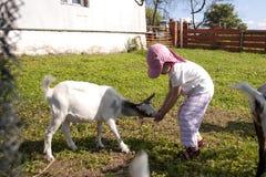 Feeding goat 3 stock photo