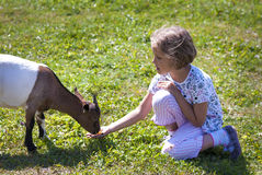Feeding goat 8 Stock Photos