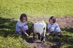 Feeding goat 6 Royalty Free Stock Photo