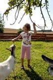 Feeding goat 4 Stock Photo