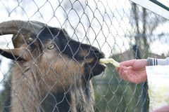 Feeding goat at zoo Stock Image