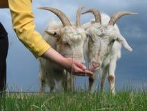 Feeding goats. A young woman feeding goats stock image