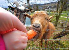 Feeding goats Stock Photography