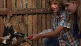 Feeding Goats At Farm stock video