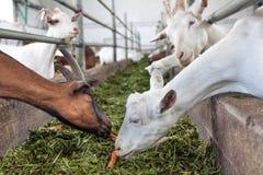Feeding goats Stock Photos