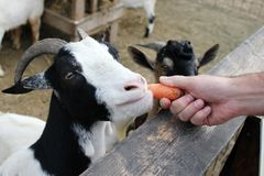 Feeding goats at the farm (zoo) Royalty Free Stock Photos