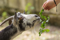 Feeding goats Stock Image