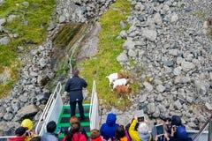 Feeding goats near Stavanger stock photography