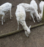 Feeding Goats Royalty Free Stock Photo