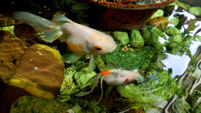 Feeding gold fish in clear water pond Stock Photo