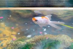 Feeding goldfish in the aquarium at home. Fish rock and plants in the background royalty free stock image
