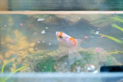 Feeding goldfish in the aquarium at home. Fish rock and plants in the background royalty free stock photos