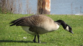 Feeding goose Stock Image