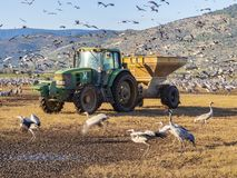 Feeding of gray cranes on wintering in the reserve of Hula Valley, Israel. royalty free stock photos