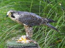 Feeding gray falcons stock photo