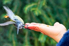 Feeding the great tit by hand. stock photography
