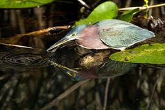 Feeding Green Heron Royalty Free Stock Image