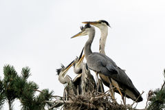 Feeding of Grey Heron chicks in the nest Stock Photography