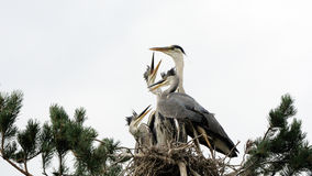 Feeding of Grey Heron chicks in the nest Royalty Free Stock Photos