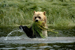 Feeding grizzly stock photography
