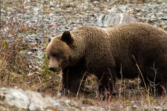 Feeding Grizzly Bear. A fat grizzly bear feasts on plant matter on a rocky ridge before winter Stock Photos