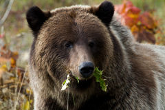 Feeding Grizzly Bear. A fat grizzly bear feasts on plant matter before winter. Gold and red shrub in the background Stock Image