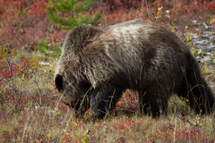 Feeding Grizzly Bear. A fat grizzly bear with a pronounced hump feasts on plant matter before winter. Gold and red shrub in the background Royalty Free Stock Image
