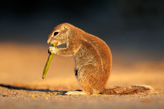 Feeding ground squirrel Royalty Free Stock Image