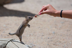 Feeding a Ground Squirrel Royalty Free Stock Image
