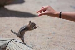 Feeding a Ground Squirrel Stock Image