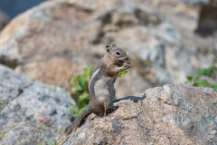 Feeding a Ground Squirrel Stock Images