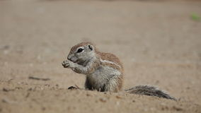 Feeding ground squirrel stock footage